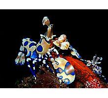 Harlequin shrimp chow down Photographic Print