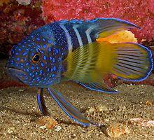 Eastern Blue Devilfish by daveharasti