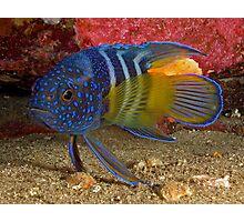 Eastern Blue Devilfish Photographic Print