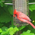 Cardinal at Feeder by Laurel Talabere