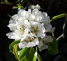 Pear blossom .. spring flowers by LoneAngel