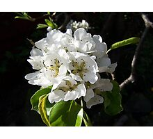 Pear blossom .. spring flowers Photographic Print