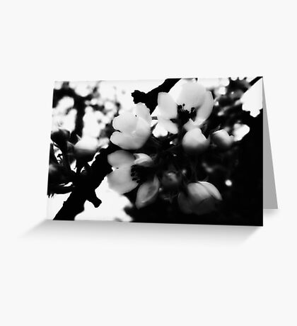 Pear Blossoms Bloom  Greeting Card