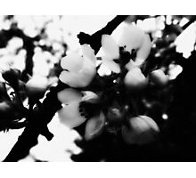 Pear Blossoms Bloom  Photographic Print