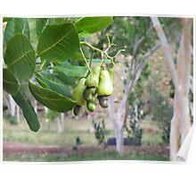 Bush Cashew Poster