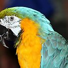 Macaw by Rachael Taylor