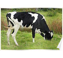 Holstein Cow Grazing Poster