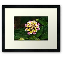 Fresh Lantana Flower Against Leaf Background Framed Print