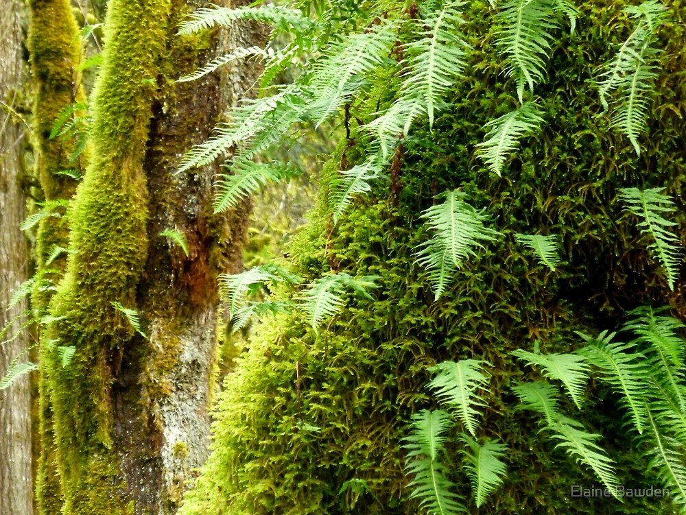 Early Spring in the Rain Forest   by Elaine Bawden