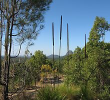 Grass plants with flower heads, Glass House Mountain area. Qld. Australia by Marilyn Baldey