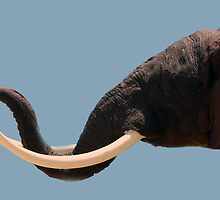 Tusks by laureenr