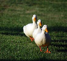 Waddle Waddle Waddle by laureenr