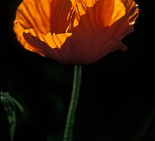 Backlit Poppy by mklue