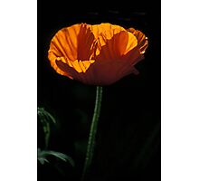 Backlit Poppy Photographic Print