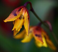 Spotted Yellow Orchid by Deborah  Benoit