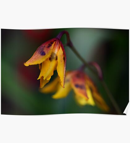 Spotted Yellow Orchid Poster