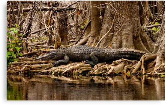 Gator, St. Johns River, Florida Feb. 2009 by Albert Dickson