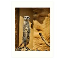 Meerkat,  London Zoo Art Print