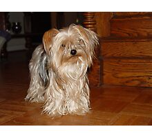The Yorkie at the Antique Cottage Photographic Print