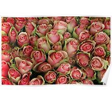 Pink Rose Series-1 Poster