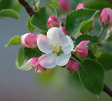 Dwarf Apple Tree Blossom by okcandids