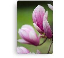 magnolia blooming  on tree Canvas Print