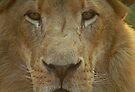 Lion portrait up close by GrahamCSmith