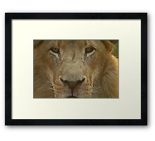 Lion portrait up close Framed Print