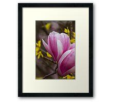 magnolia blooming  on tree Framed Print