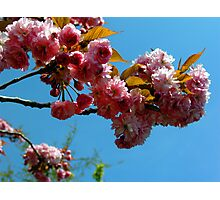 Ornamental Cherry Blossoms Photographic Print