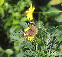 Butterfly by cocot101