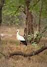 White stork  by GrahamCSmith