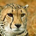 Cheetah portrait by GrahamCSmith