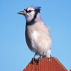 Blue Jay on My Fence  by Bill Spengler