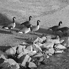 Geese by lroof