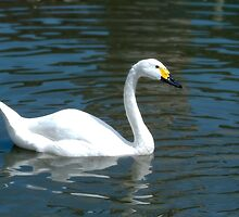 Bewicks Swan by afh1066