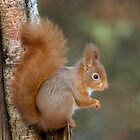 Red Squirrel Portrait by wildlifephoto