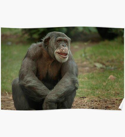Chimpanzee Elder Poster