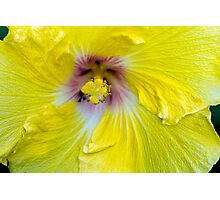 Yellow Hibiscus SRF 17 5799 Photographic Print