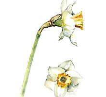 White & Yellow Daffodil by cindyloubailey