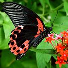 Scarlet Swallow Tail by Macky