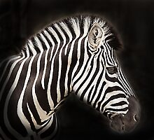 Zebra by Kerry Duffy