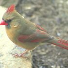 Cardinal Sitting on a Rock * by Laurel Talabere
