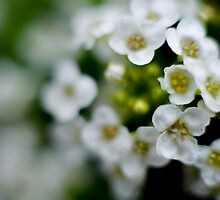 Little White Flowers by LadyVulp