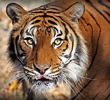 Tiger Eyes by Sharon Morris