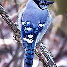 Blue Jay by Karen Scrimes