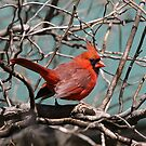 Cardinal in Spring by Patricia Montgomery