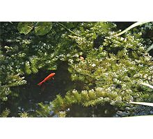 Fish in a small pond Photographic Print