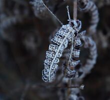 Dead and frosty fern. by SeasNatuPhotos