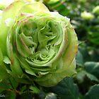 Irish Rose by MarianBendeth